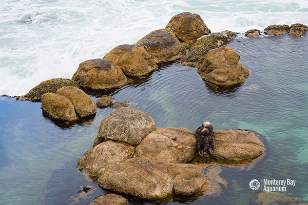 Another Wild Sea Otter Pup Born Outside Monterey Bay Aquarium! 4