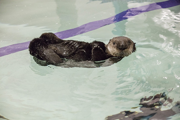 Rescued Sea Otter Pup 719 Gets a New Name Today 1