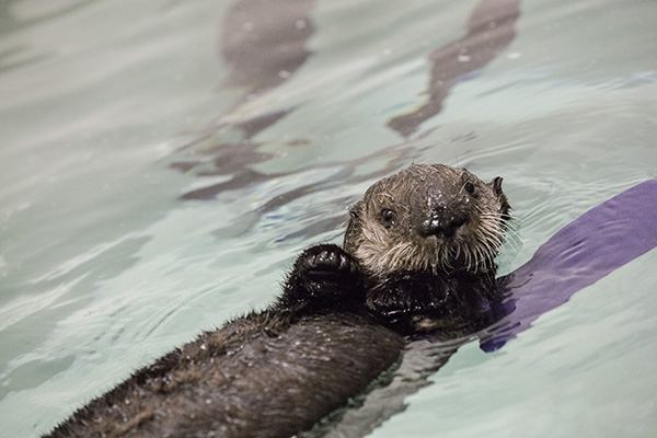 Rescued Sea Otter Pup 719 Gets a New Name Today 2