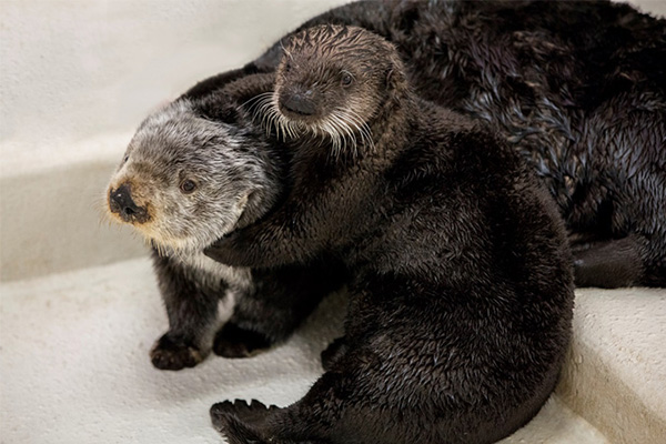 Sea Otter Pup Ellie Makes New Friends
