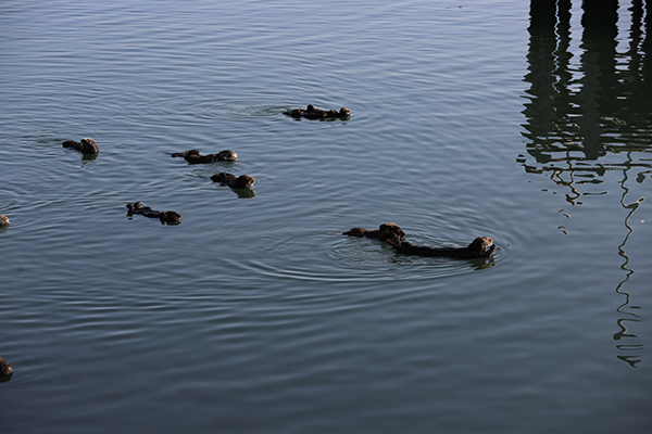 A Raft of Sea Otters Relax on the Water