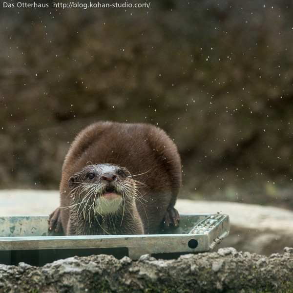 Otter Wonders at the Falling Snow
