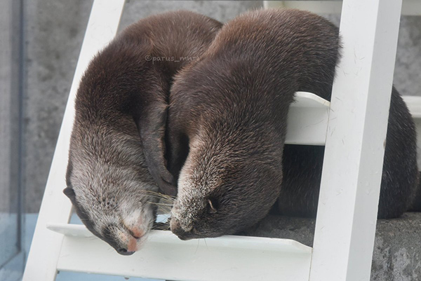 Melting Otters