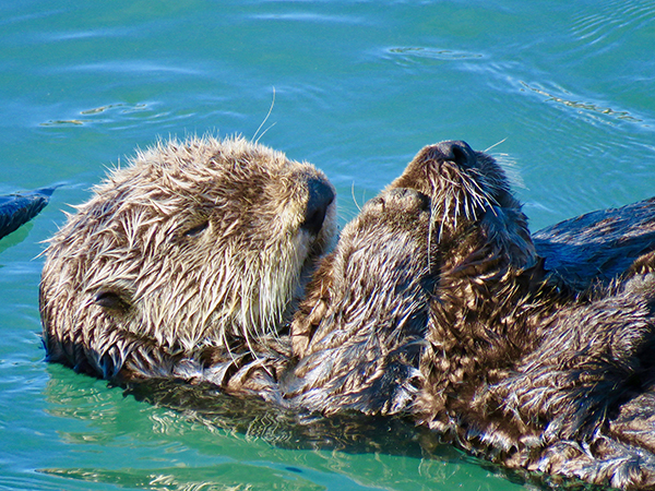 Sea Otter Mom Holds Her Nearly-Grown Pup