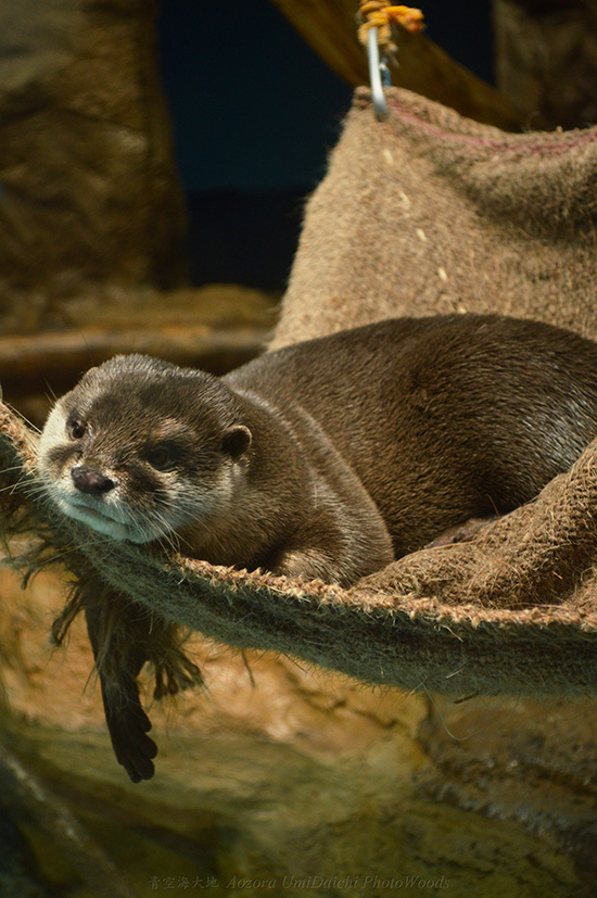 Otter Languidly Hangs Around