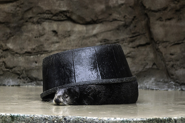 Sea Otter Half-Heartedly Hides under a Pool