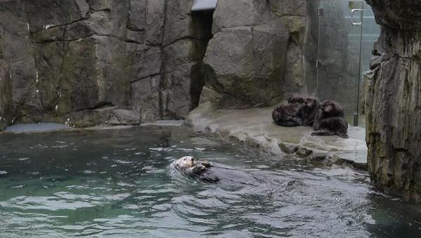 Vancouver Aquarium's Sea Otter Pups Watch Tanu Swim