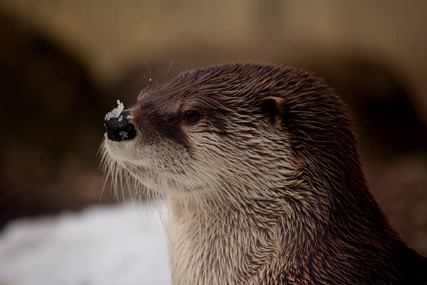 Stoic Otter Just Waits for That Bit of Snow to Melt