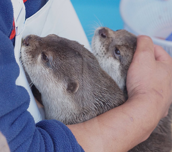Otters Come in for a Little Cuddle from Human