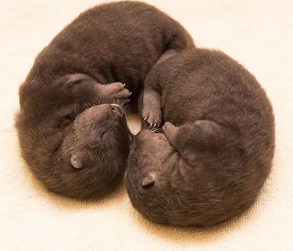 Newborn Otter Twins Curl Up Together