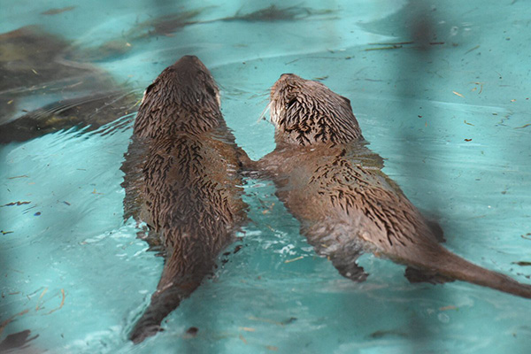 Otter Pals Go for a Swim Together