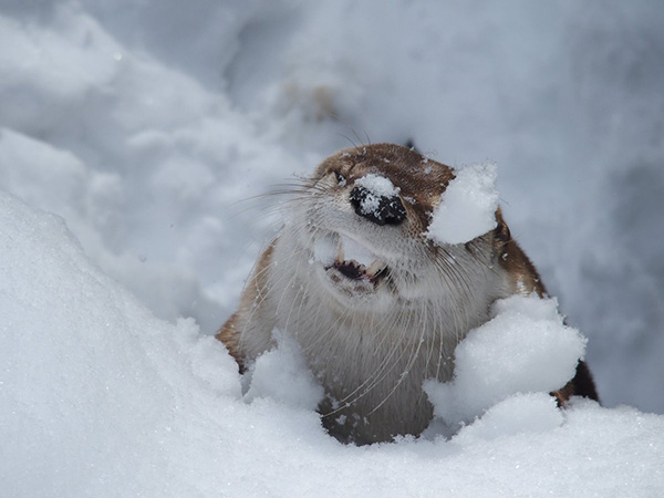 Otter Chomps on Snow