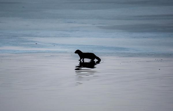 Otter Walks Across the Ice