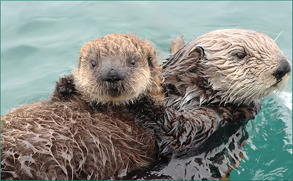 Sea Otter Pup Seems to Want to Say Hello