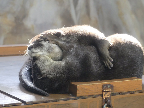Otters Have Cuddles and Kisses 1