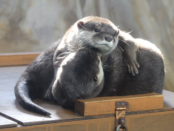 Otters Have Cuddles and Kisses 2