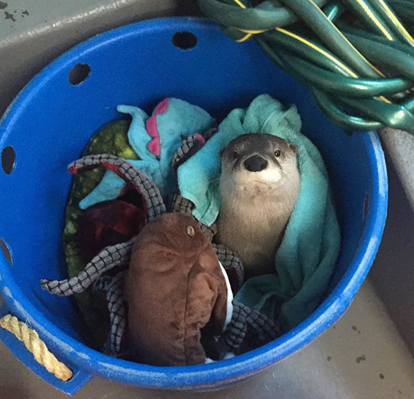Otter Snuggles with His Blankets and Plushies
