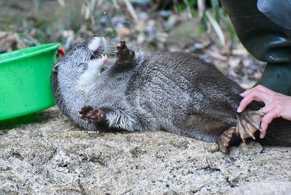 Otter's Feet Are So Ticklish!