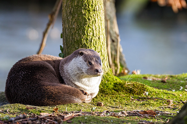 Otter Sits Under a Tree to Think