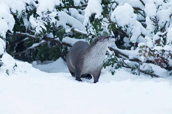 Otter Surveys His Snowy Domain