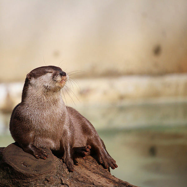 Otter Basks in the Moment