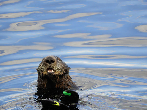 Sea Otter Shows Off His Flipper Tags