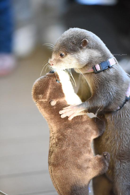 Otter Slow Dances with His Plushy Friend