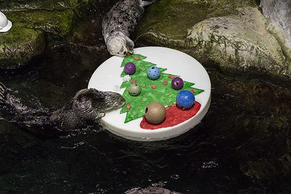 Shedd Aquarium's Sea Otters Celebrated Christmas with a Raft Full of Fun