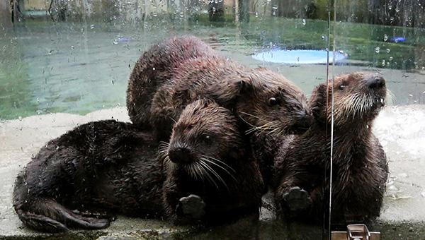 Sea Otter Pup Rialto with New Friends at Vancouver Aquarium