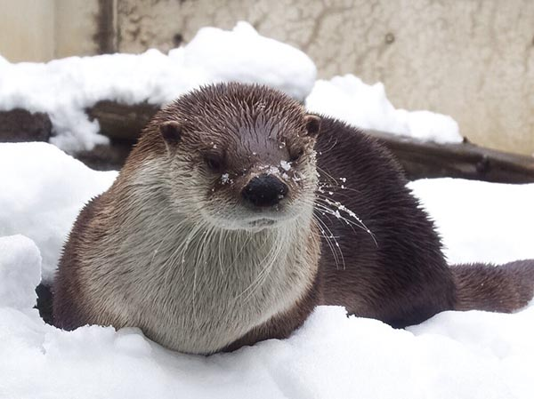 Don't Look So Sad, Otter! Snow Can Be Fun!