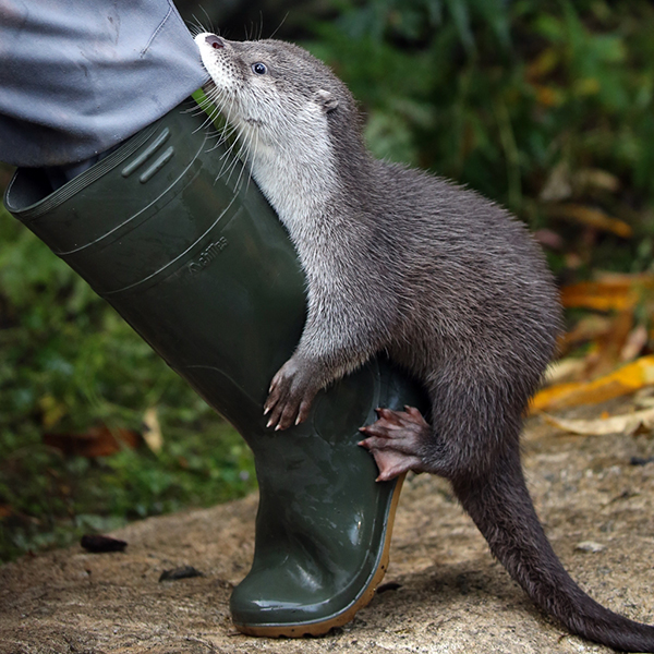 Otter Hitches a Ride with Human