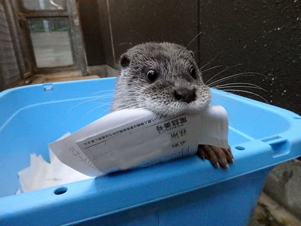Mischievous Otter Has Found the Recycling Bin and Is Making Off with Paperwork! 1