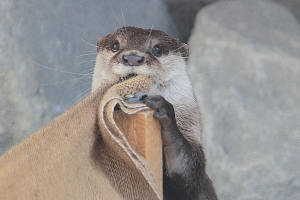 Silly Otter, That Is Not for Nomming