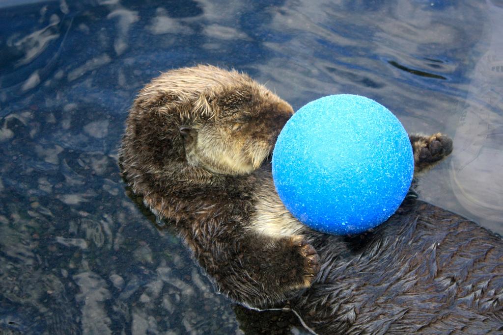 Otter Fell Asleep Playing