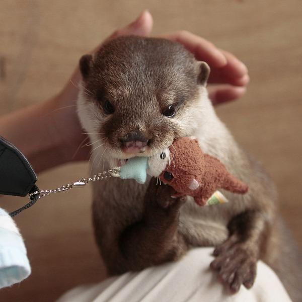 Otter Shows Stuffed Otter Who's Boss