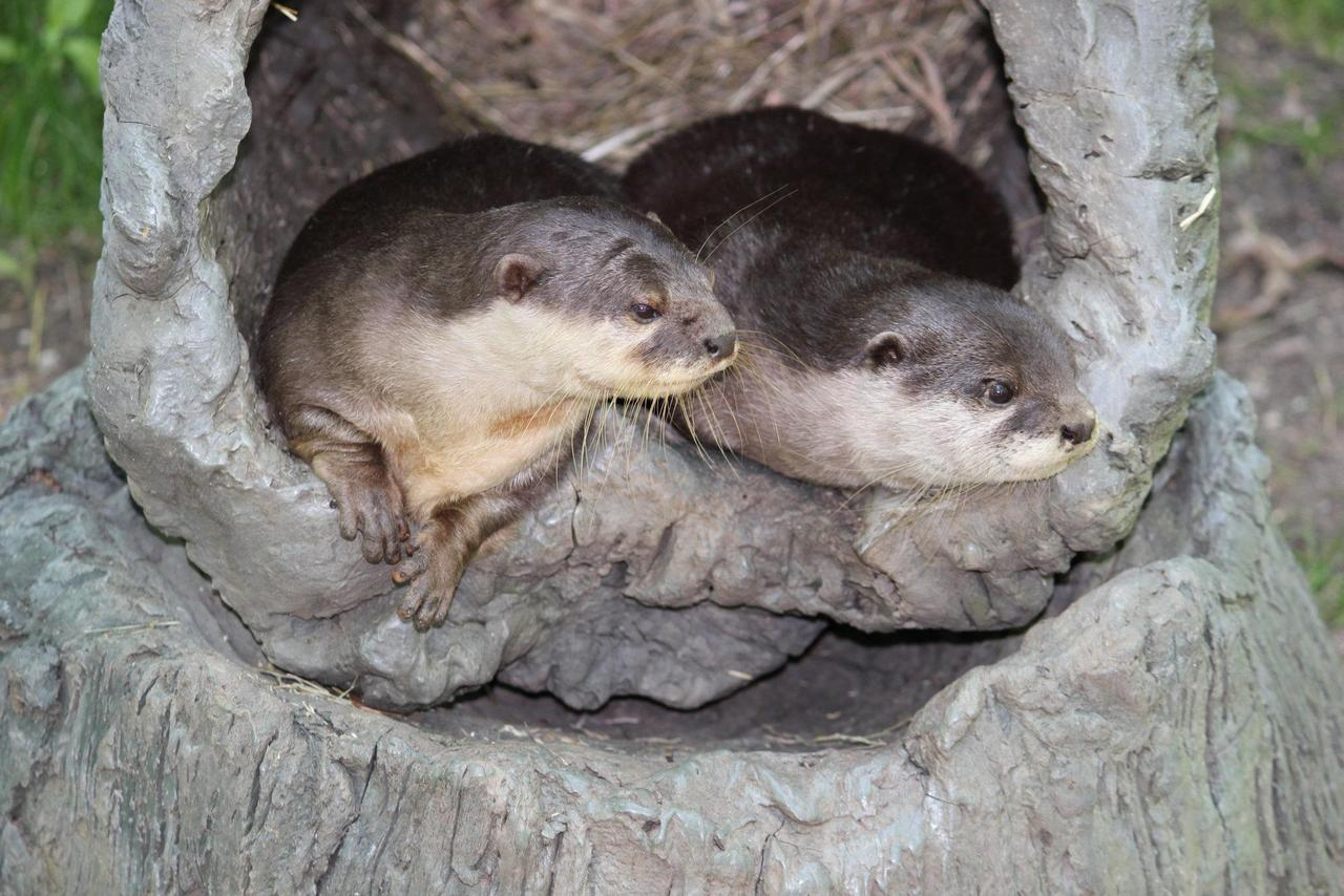 Statler and Waldorf Otters Heckle the Other Zoo Residents