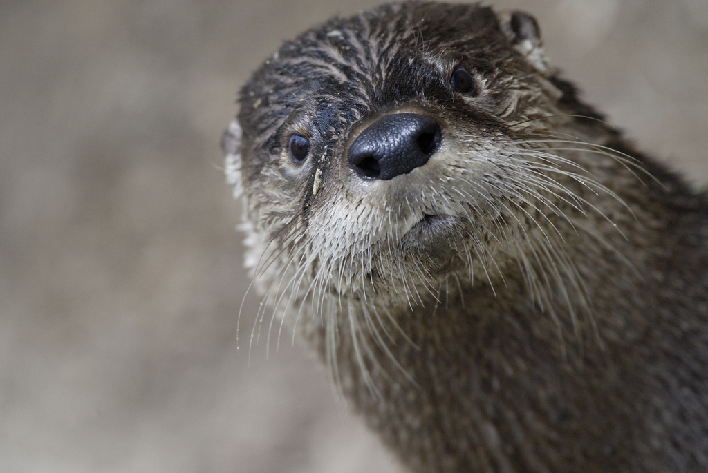 Otter Practices His Photobombing Technique