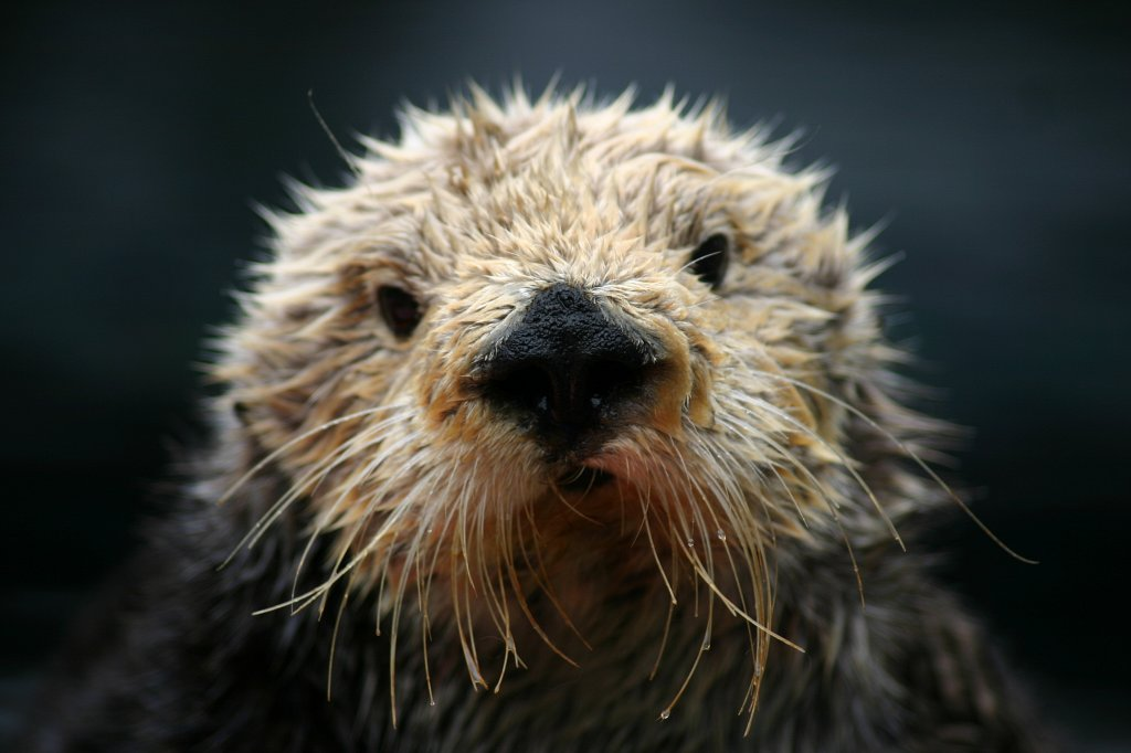 "Monterey Bay Aquarium Remembers Otter ""Super Mom"""