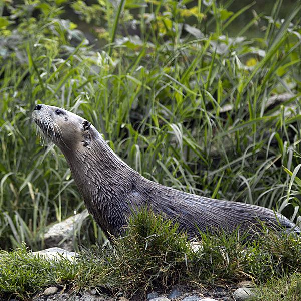 Yogi Otter Does the Cobra Pose