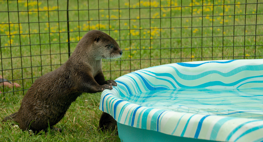 Otter Contemplates a Swim in the Puppy Pool