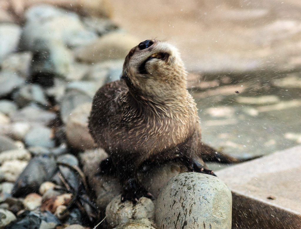 Otter Has a Good Shake to Dry Off