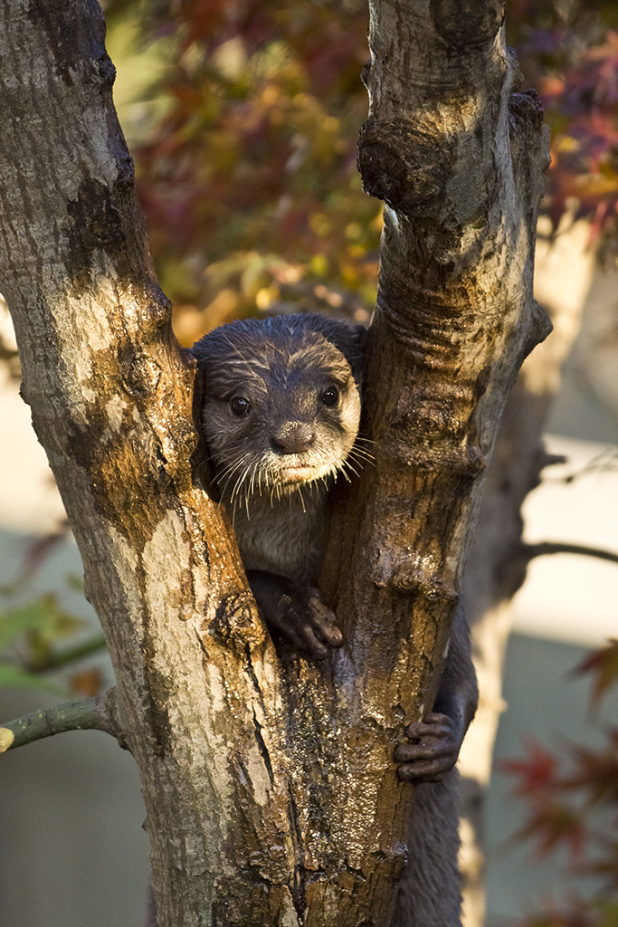 Otter's Realization: Now That I Am in the Tree, How Do I Get Down?