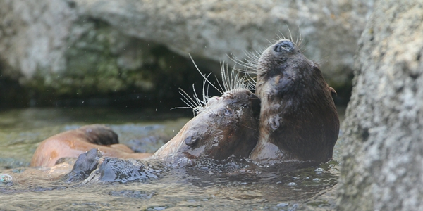 Otters Cuddle and Float