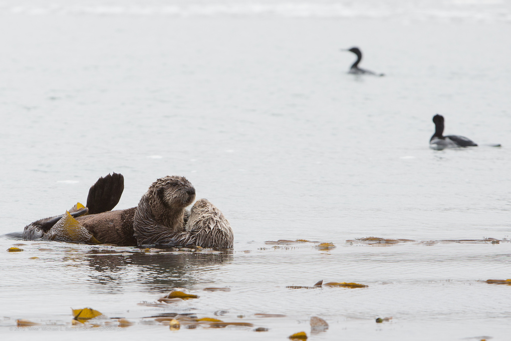 Mother Otter and Pup Anchored in Kelp