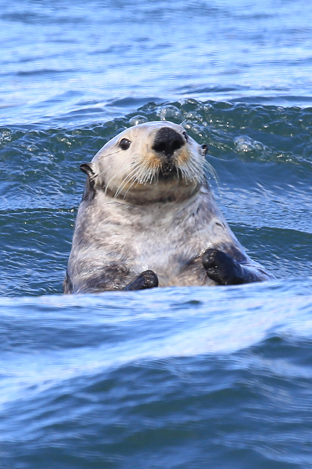 Sea Otter Bobs with the Waves