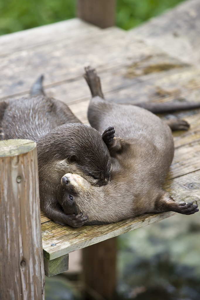 Otter Pretends to be a Vampire
