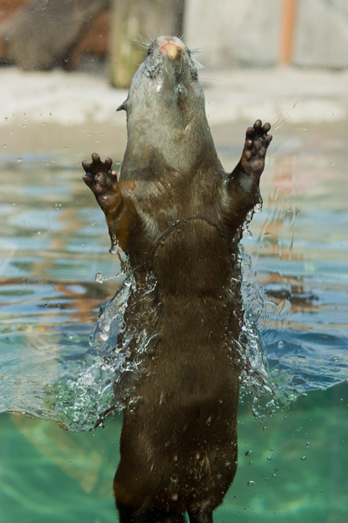 Otter Bursts from the Water