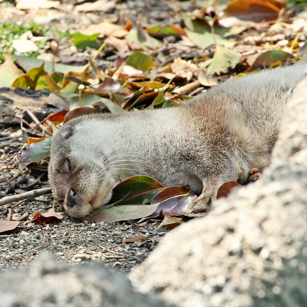 Otter Sleeps Among the Leaves