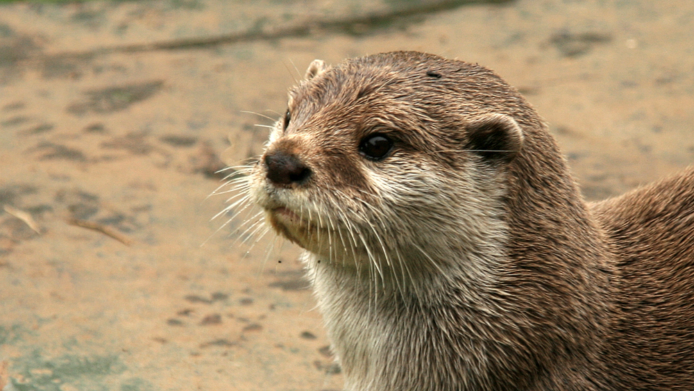Otter Looks Thoughtful