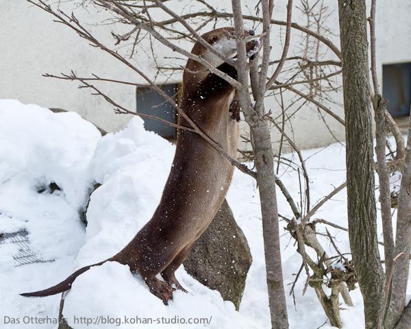 Otter Climbs a Tree 1